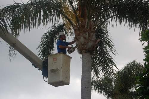 Palm Tree Trimming Amp Care Tree Trimming Amp Pruning
